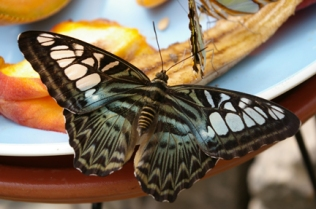 Butterfly on Fruit Sm