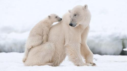 polar-bear-cub-on-mom-jpg-adapt-945-1